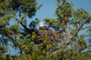 5-25-09 - eagle pair at nest