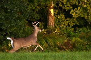Vermont has more older bucks in its deer population as a result of the antler point restriction that went into effect in 2005. VT Fish & Wildlife photo by Dave Yandel.
