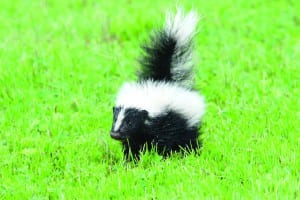 baby skunk sooo cute here kitty kitty kitty! 4C