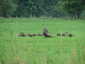 Hen Turkey with Brood, Wildlife
