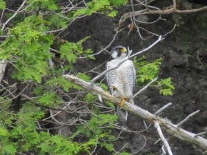peregrine falcon nest on Lake Champlain_2011