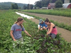 Community Harvest of Central Vermont gleaned over 28,000 pounds of food last year with major help from Dog River Farm in Berlin (seen here).