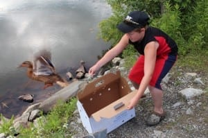 Trevor Thompson, 12, helped rescue a mallard from Berlin Pond on June 30 and released it two days later after Angela Wilkin of VINS nursed it back to help. Wilkin gave Trevor a certificate of appreciation for his help.